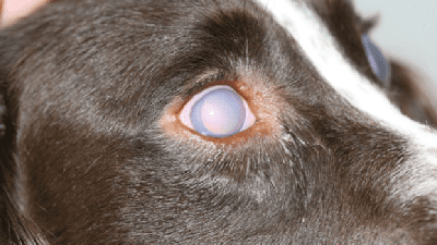 Glaucoma Fact sheet image of dog with glaucoma