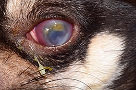 Davies Veterinary Specialists Ophthalmology Case Study Pepe Initial presentation