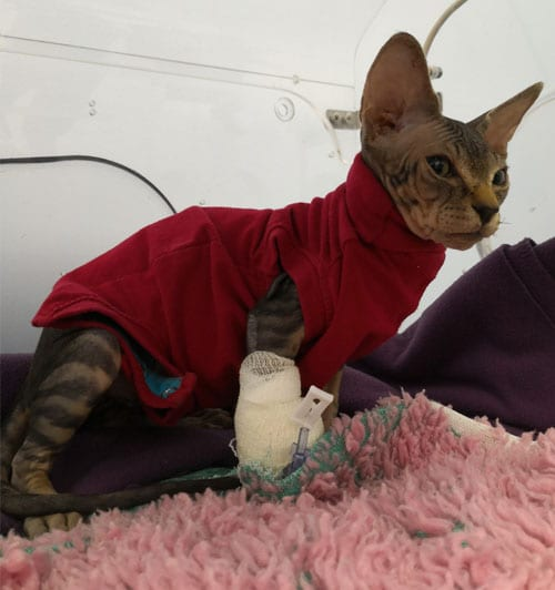 Keril the sphynx cat treated for hydronephrosis