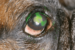 Veterinary Ophthalmology SCCED ulcer fact sheet - SCCED ulcer in a Boxer