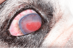 Veterinary Ophthalmology SCCED ulcer fact sheet - SCCED ulcer left untreated