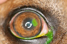Davies Veterinary Specialists Ophthalmology fact sheet - SCCED ulcer in Staffordshire Bull Terrier