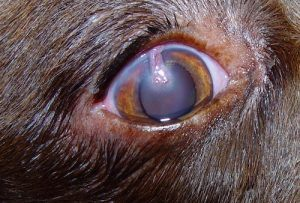 Corneal Grafts - A conjunctival pedicle graft 1 week post operatively