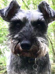 Davies Veterinary Specialists treats Coco the miniature schnauzer after hornet sting