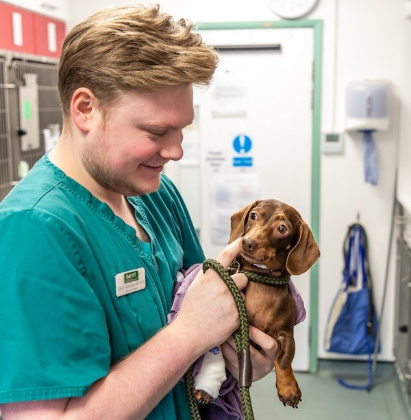 Davies Veterinary Specialists Neurology case study Happy the dachshund recovers from Neurosurgery