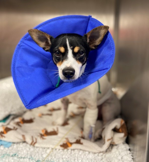 Davies Veterinary Specialists Skip recovers from orthopaedic surgery
