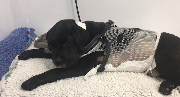 Monty recovers from surgery after swallowing a conker