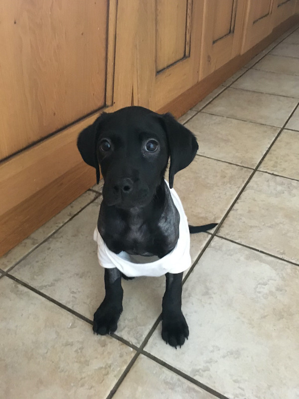 Dutch the Labrador retriever recovers from surgery for PRAA at Davies