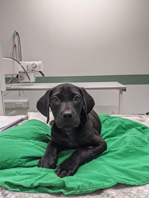 Dutch the Labrador retriever has surgery for PRAA at Davies