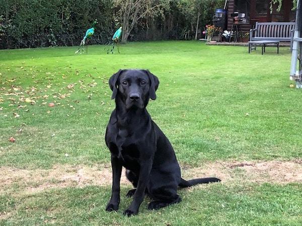 Dutch the Labrador retriever thriving after surgery for PRAA at Davies